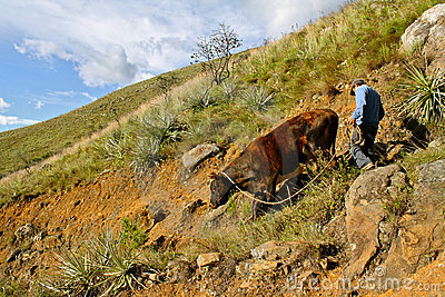 Steep descend for a cow, Colombia Editorial Image