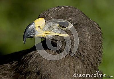 Steepe Eagle
