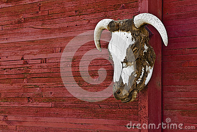 Steer Head Horns On Red Barn Wall Horizontal