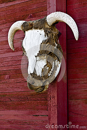 Steer Head Horns On Red Barn Wall Vertical