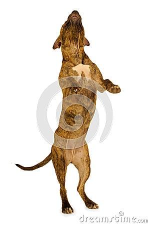 Stehender Hund