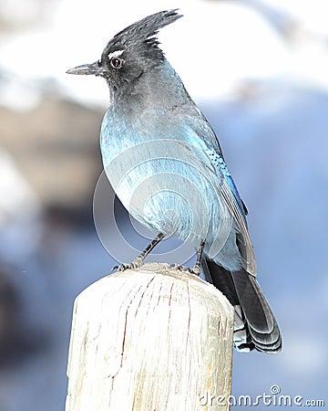 Steller s Jay