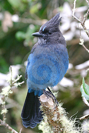 Free Steller S Jay Perched In A Dead Tree Royalty Free Stock Images - 20384789