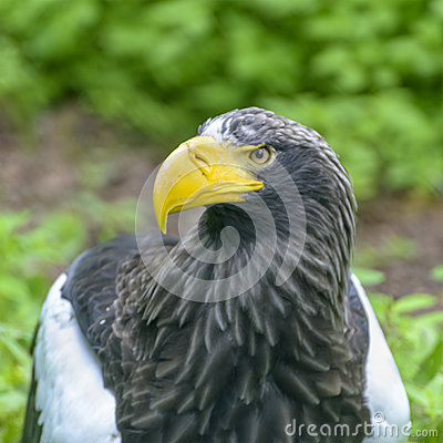 Free Steller`s Sea Eagle In Walsrode Bird Park, Germany. Adult Head Stock Images - 91249614