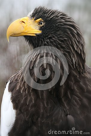 Free Steller Sea Eagle Stock Images - 26653234