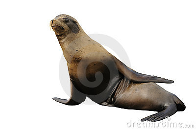 Steller sea lion isolated on white
