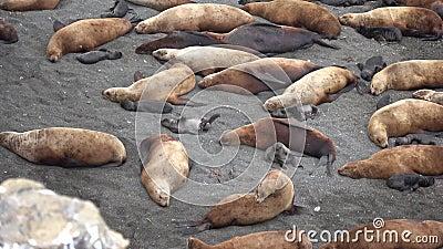 Steller sea lion rookery on Tuleny Island. stock footage