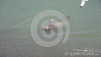 Steller sea lion rookery on Tuleny Island. stock video footage