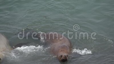 Steller sea lion rookery on Tuleny Island. stock video