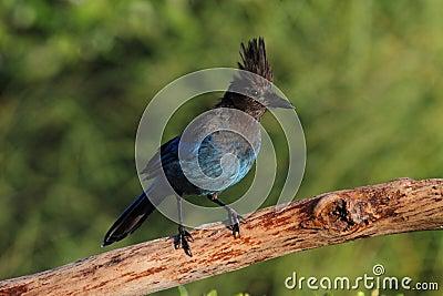 Stellers Jay (Cyanocitta stelleri)