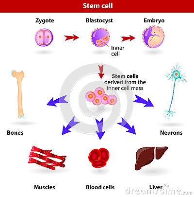 Free Stem Cells Royalty Free Stock Photo - 29138575