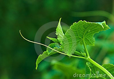 Stem of cucumber plants