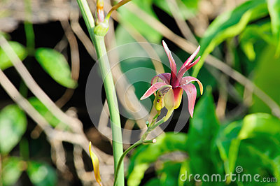 Stemona tuberosa lour, herbal kill worms and insects Stock Photo