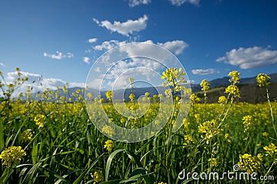 Stems of Mustard in Field