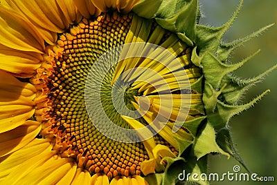 Step of sunflower