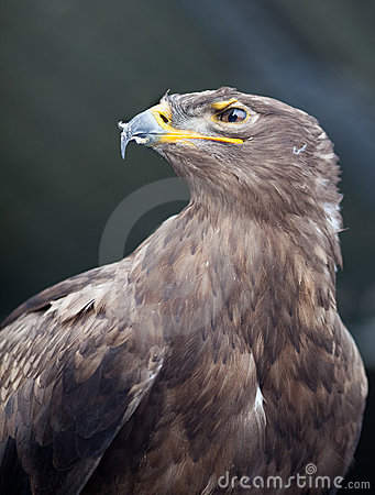 Free Steppe Eagle - Stock Image - 13393601