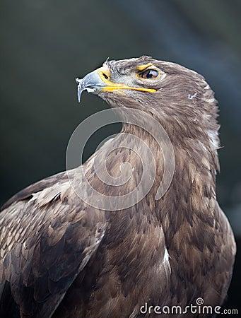 Steppe eagle -