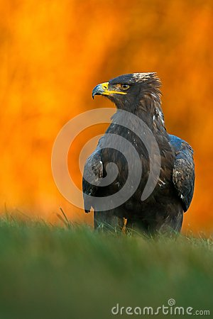 Free Steppe Eagle, Aquila Nipalensis, Sitting In The Grass On Meadow, Orange Autumn Forest In Background, Sweden Royalty Free Stock Photography - 67938557