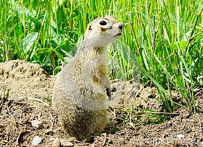 Steppe gophers