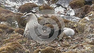 Stercoraire polaire du sud femelle se reposant dans un nid à côté duquel un poussin duveteux se repose banque de vidéos