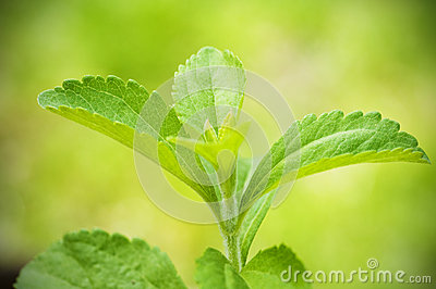 Stevia rebaudiana branch