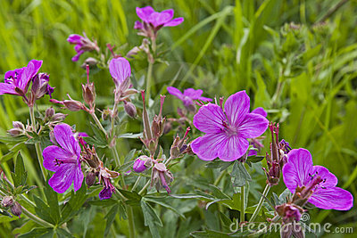 Sticky Geranium wildflower
