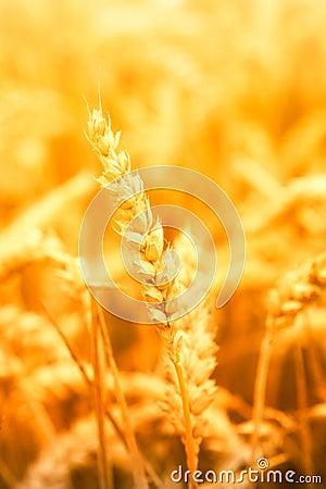 Stiel des Weizens