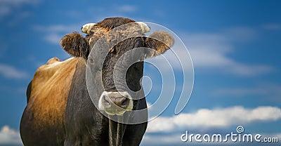 Stier of koe die zich met blauwe hemel en wolken bevinden royalty vrije stock foto afbeelding - Kleuren die zich vermengen met de blauwe ...
