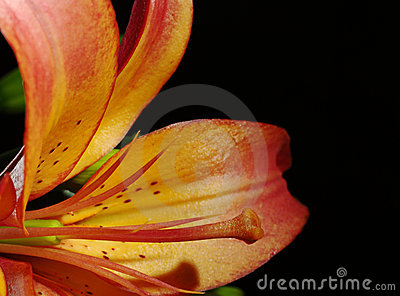 Stigma and Pollen of Orange Lily