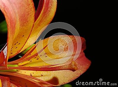 Stigma and Pollen of Orange Lily