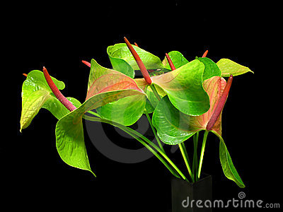 Still life of   Flaming lily   flower