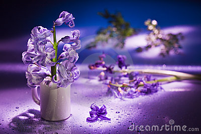 Still life with hyacinth flower in gentle violet