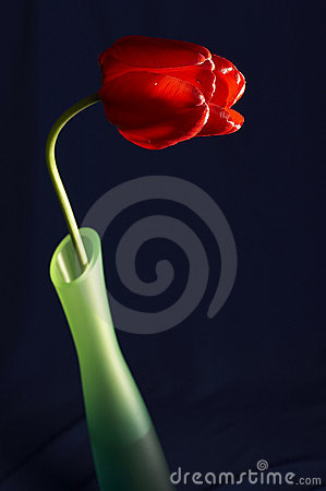 Free Still Life With Tulip In The Bowl Stock Photography - 847822