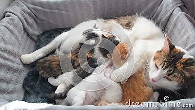 Stillende K?tzchen Gl?ckliche Katzenfamilie Mutter Cat Gives Milk Feeding und Nehmen-Sorgfalt ihres netten K?tzchens Mutter Cat H stock footage