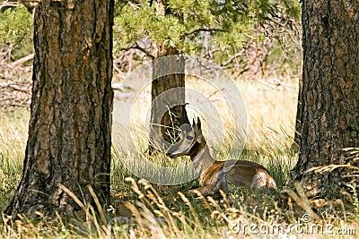 Stillstehende Antilope