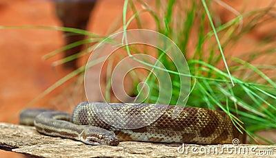 Stimsons python snake