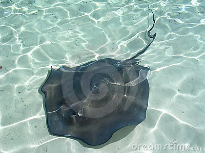 Sting Ray Bahamas