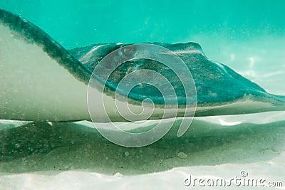 Sting ray swimming