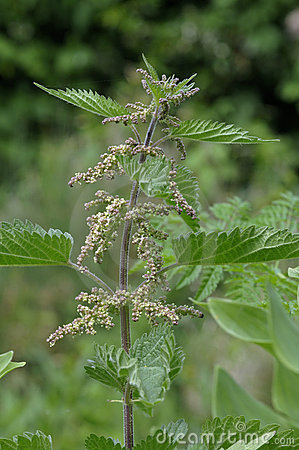 Free Stinging Nettle - Urtica Dioica Royalty Free Stock Photography - 15194977