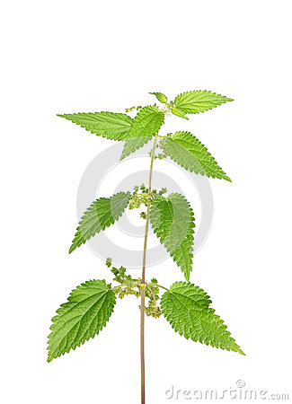 Free Stinging Nettle (Urtica Dioica) Royalty Free Stock Photos - 26862918