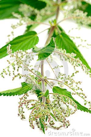 Free Stinging Nettle (Urtica Dioica) Stock Photos - 28421713
