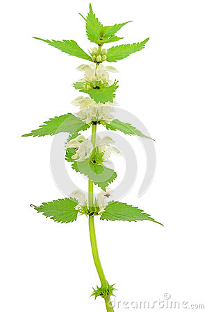 Free Stinging Nettle (Urtica Dioica) Stock Image - 31209521