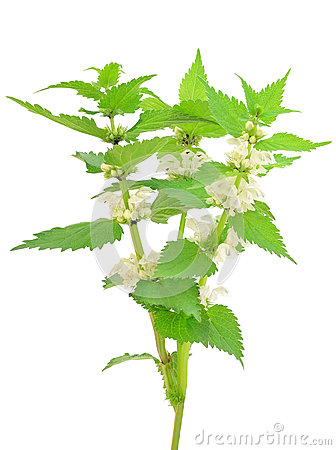 Free Stinging Nettle (Urtica Dioica) Royalty Free Stock Photo - 34195905