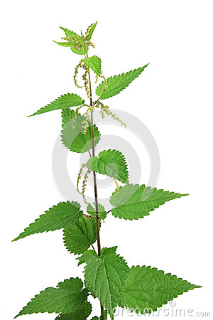 Free Stinging Nettle Urtica Dioica Stock Photos - 98920313