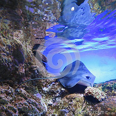 Free Stingray Royalty Free Stock Images - 30796789
