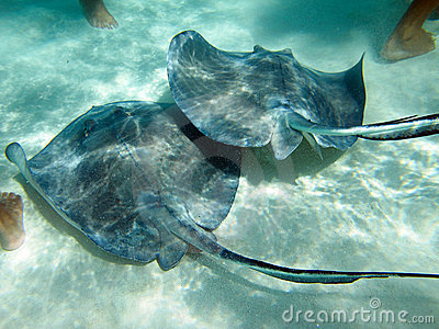 Stingrays with human feet