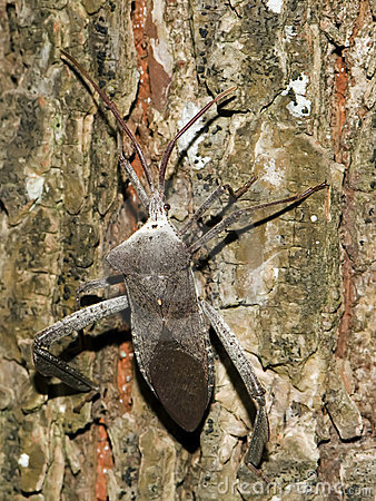 Free Stink Bug1 Royalty Free Stock Image - 7032016