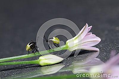Stinkbug nymphs