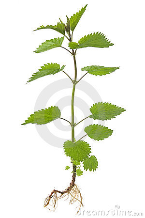 Free Stinking Nettle (Urtica Dioica) Royalty Free Stock Photo - 19410135
