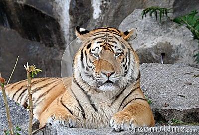 Stirrig tiger
